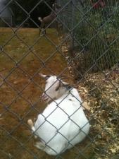 the neighbor's goats