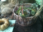 Hen and Chicks in a Basket