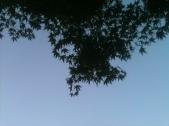 Skyward Maple