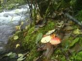 Amanita in Wonderland