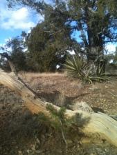 Yucca and Baby Pinon