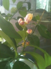 Lemon Tree Cheeriness