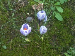Crocus Breaking Through