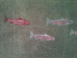 Salmon in the City River