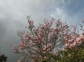 Magnolia Skies