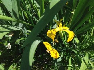 Wild Dear Iris