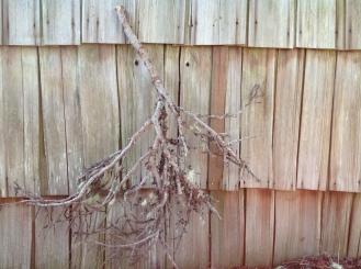 Pine Creek Broom