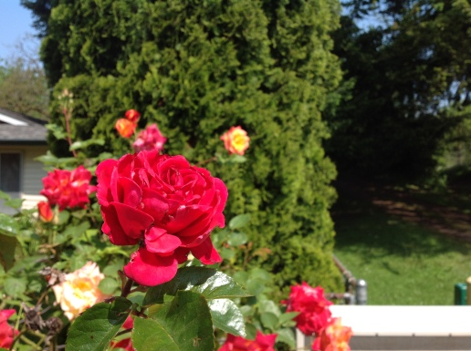 Roses on May Eve