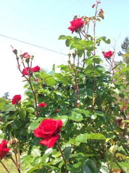 The Roses are Blooming!