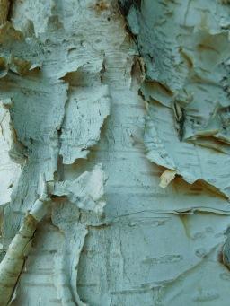 Birch Skin