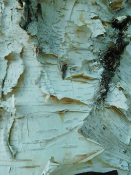 Paper-like bark