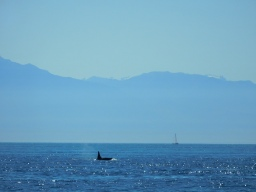 Orca and Sailboat