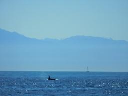 Orca and Sailboat