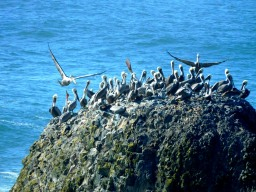 Pelicans at Yaquina Head Lighthouse