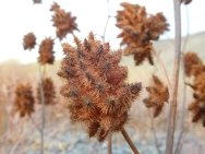 Stalks of Burrs