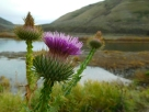 Thistle Blowout