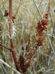 Auburn Seed Pods