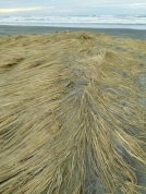 Is beach grass ephemeral?