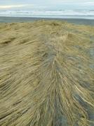Is beach grass ephemeral?