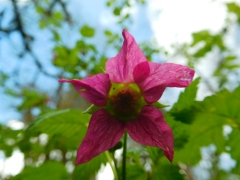 Salmonberry flowers, almost as tasty as the berry