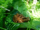 Frog on Skunk Cabbage