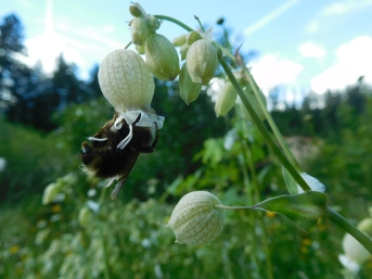 Wild Bees and Wildflowers at Alder Flat