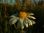 Spider on a Daisy